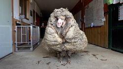 Wild Australian Sheep Sheared Of 35kg Of