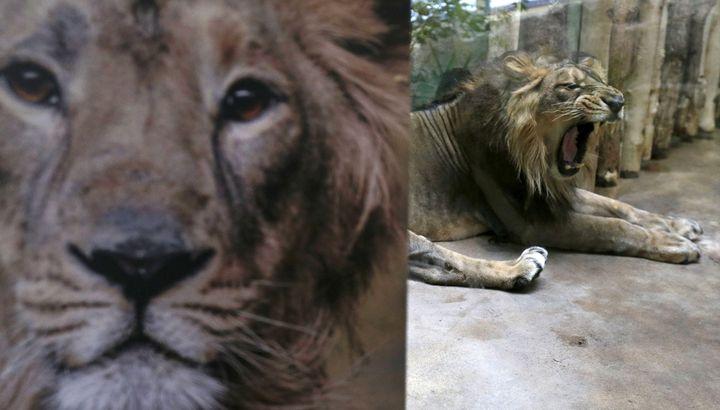 Jamvan, an Asiatic lion, yawns inside its enclosure at Prague Zoo in Prague, Czech Republic, December 20, 2015.