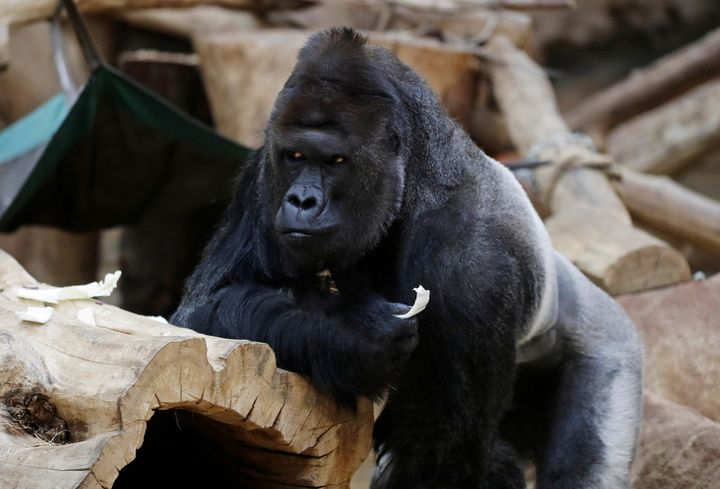 Richard, a western lowland gorilla, who was tested positive for COVID-19 on February 25, 2021, eats vegetables inside its enc