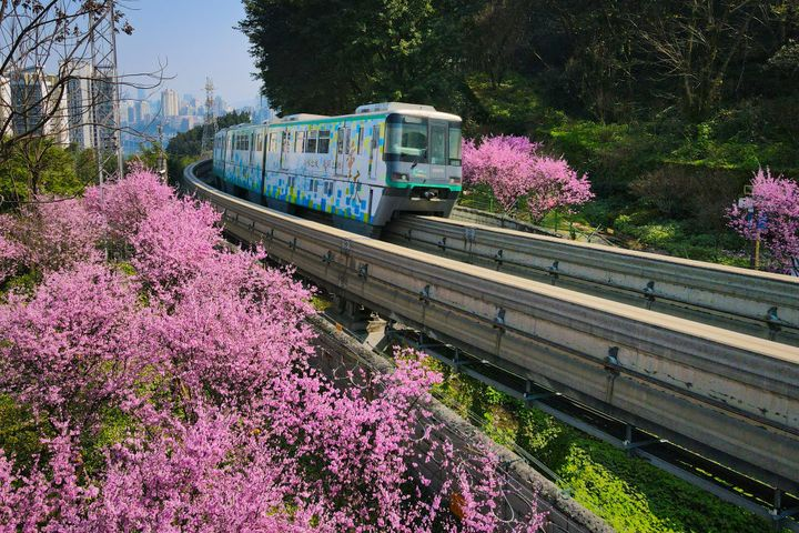 Plum blossoms in Chongqing, China.