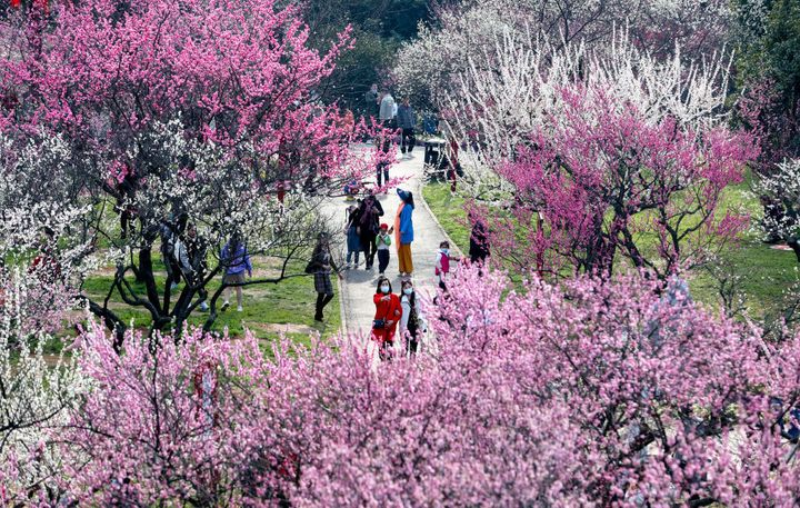 Plum trees in Wuhan, China.