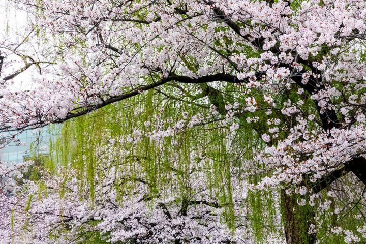 Cherry Blossom in Ueno Park, Tokyo, Japan.