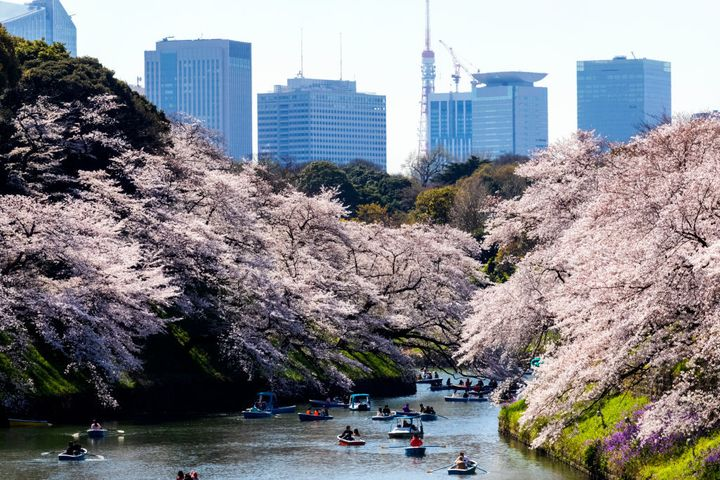 Boats and blossom in Ueno Park, Tokyo, Japan.
