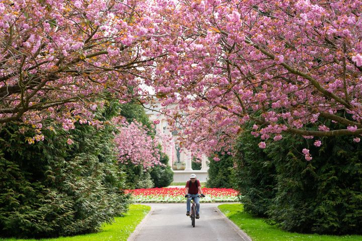 Blooms out in full at Cathays Park in central Cardiff.