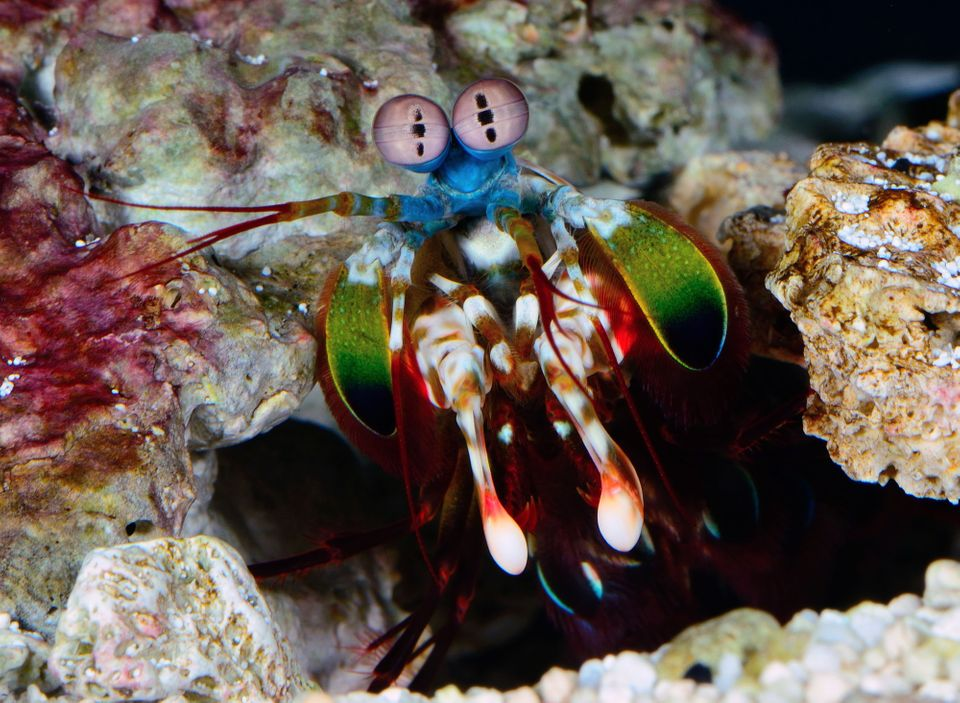 The mantis shrimp, which has phenomenal