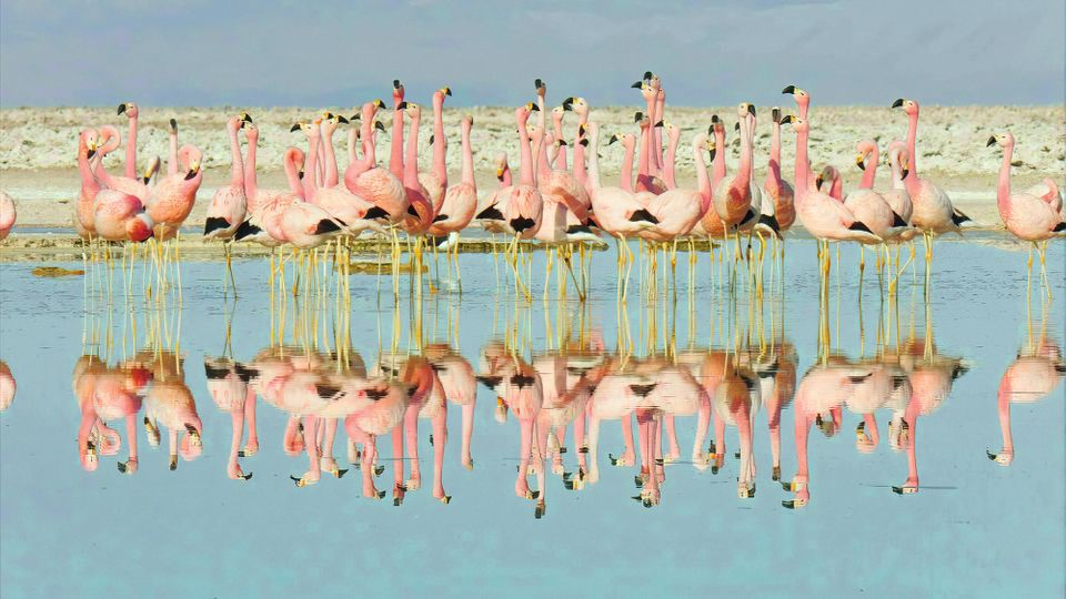 Flamingos get their distinctive colour from a diet of