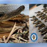 イギリスで80頭分の「ワニの頭」が家から押収される。不法輸入で世界中のマニアに販売か【画像】