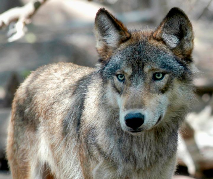 Wisconsin wildlife officials opened an abbreviated wolf season on Feb. 22, 2021, complying with a court order to start the hu