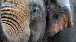 Zookeeper Dies After Being Struck By Elephant's