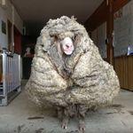 Αυστραλία: Κούρεψαν αρνί και έμεινε μισό - Το μαλλί ζύγιζε πάνω από 35