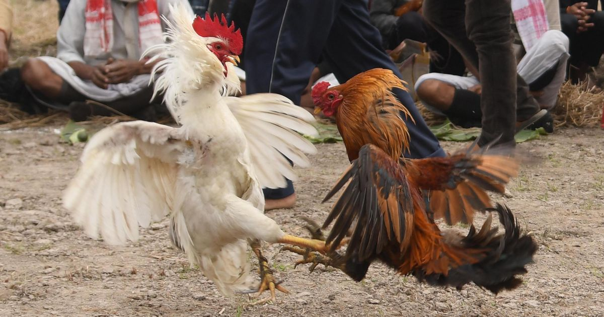 Rooster With Blade Tied To Its Leg Kills Owner During Illegal Cockfight