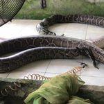 PETA dévoile des images glaçantes de serpents tués pour leur