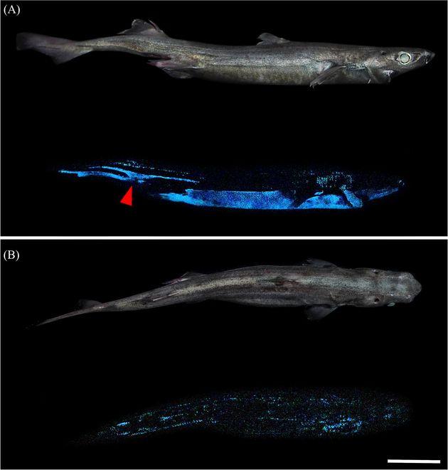 Καρχαρίες που λάμπουν στο σκοτάδι ανακάλυψαν επιστήμονες στην Νέα