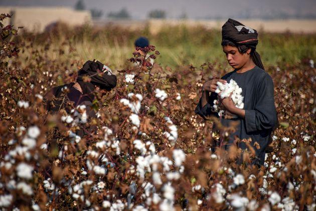 コットンを収穫する子どもの労働者(アフガニスタン)=2019年12月、AVED TANVEER /