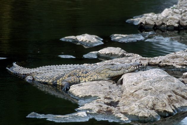 En Afrique du Sud, la police sur les traces d'une bande de crocodiles évadés (Photo d'illustration...