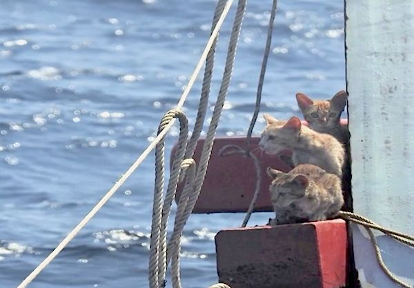 After the crew was removed from the capsized boat, the Thai Navy sailors noticed four ginger cat huddled together on a wooden