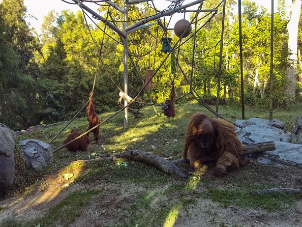 Πίθηκοι στο ζωολογικό κήπο του Σαν Ντιέγκο κάνουν το εμβόλιο κατά της