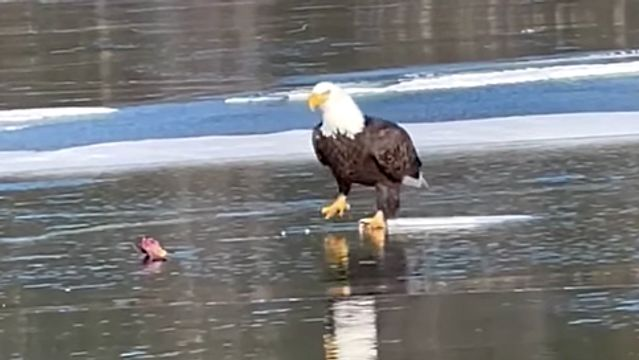 A Bald Eagle Ice Skating Is Just What We All Need.jpg