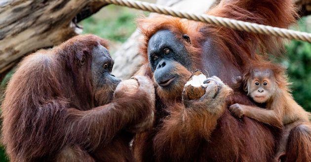Des orang outans mangeant des noix de coco dans le zoo de Hagenbeck en Allemagne, le 10 septembre