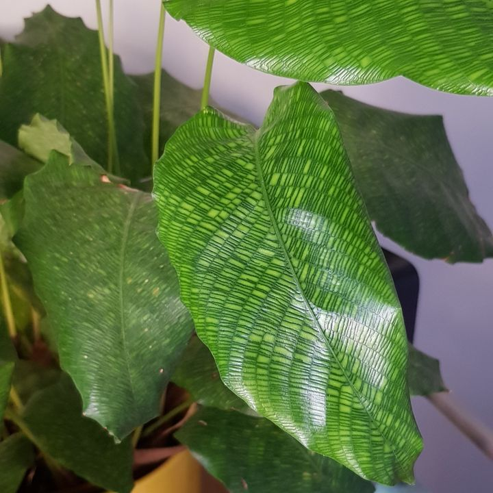 Cathie's calathea (network) with its intricate leaves.