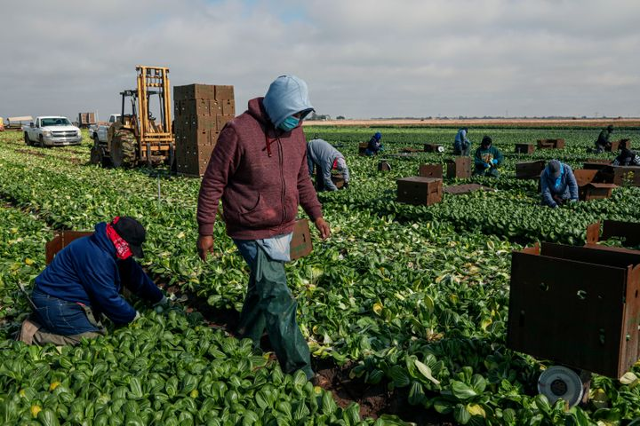 Farmworkers pick bok choy on Jan. 22, 2021, in Calexico, California. President Joe Biden has unveiled an immigration reform p