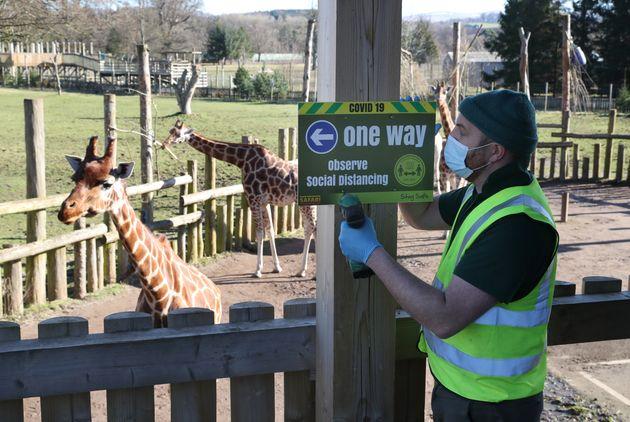 Dave Warren attaches Covid safety signs to the giraffe platform at Blair Drummond Safari Park, near Stirling...