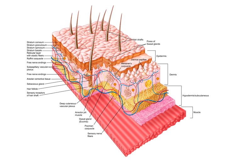 A diagram of the skin's many layers.