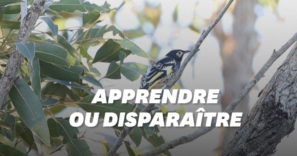 Cette espèce d'oiseau pourrait disparaître parce qu'elle ne chante plus assez bien