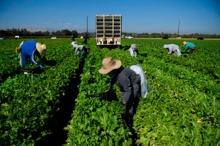 Farmworkers wear face masks while harvesting curly mustard in a field on Feb. 10 in Ventura County, California.