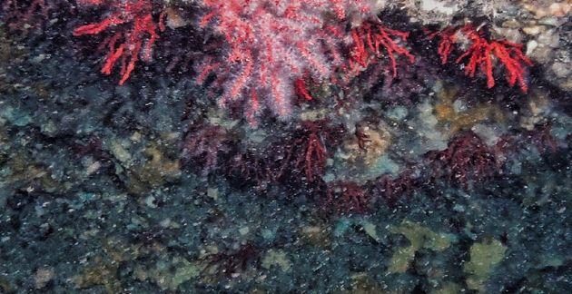Corallo rosso in