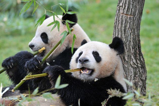 Les pandas Huan-Huan et Yuan-Zi au zoo de Beauval le 18 février