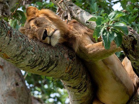 Εξι λιοντάρια βρέθηκαν αποκεφαλισμένα και διαμελισμένα σε πάρκο της