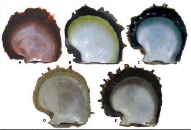 Différentes couleurs de l'intérieur de la coquille de P. margaritifera (l'espèce...