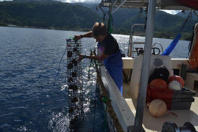 Les huîtres ont été plongées à différentes