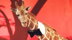 Possédée illégalement, la girafe de