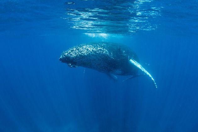 대형 고래는 바다 표면에서 통나무처럼 떠 있거나 수중에서 표류하며 잠을 잔다. 혹등고래가 수심 11m에서 잠을 자는 모습이