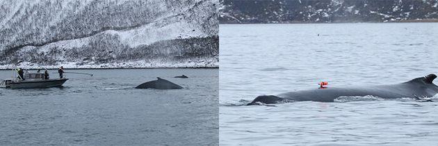 고베대 연구진이 노르웨이 해안에서 혹등고래의 등에 초광각 비디오카메라를 단 데이터 로거를 부착하고