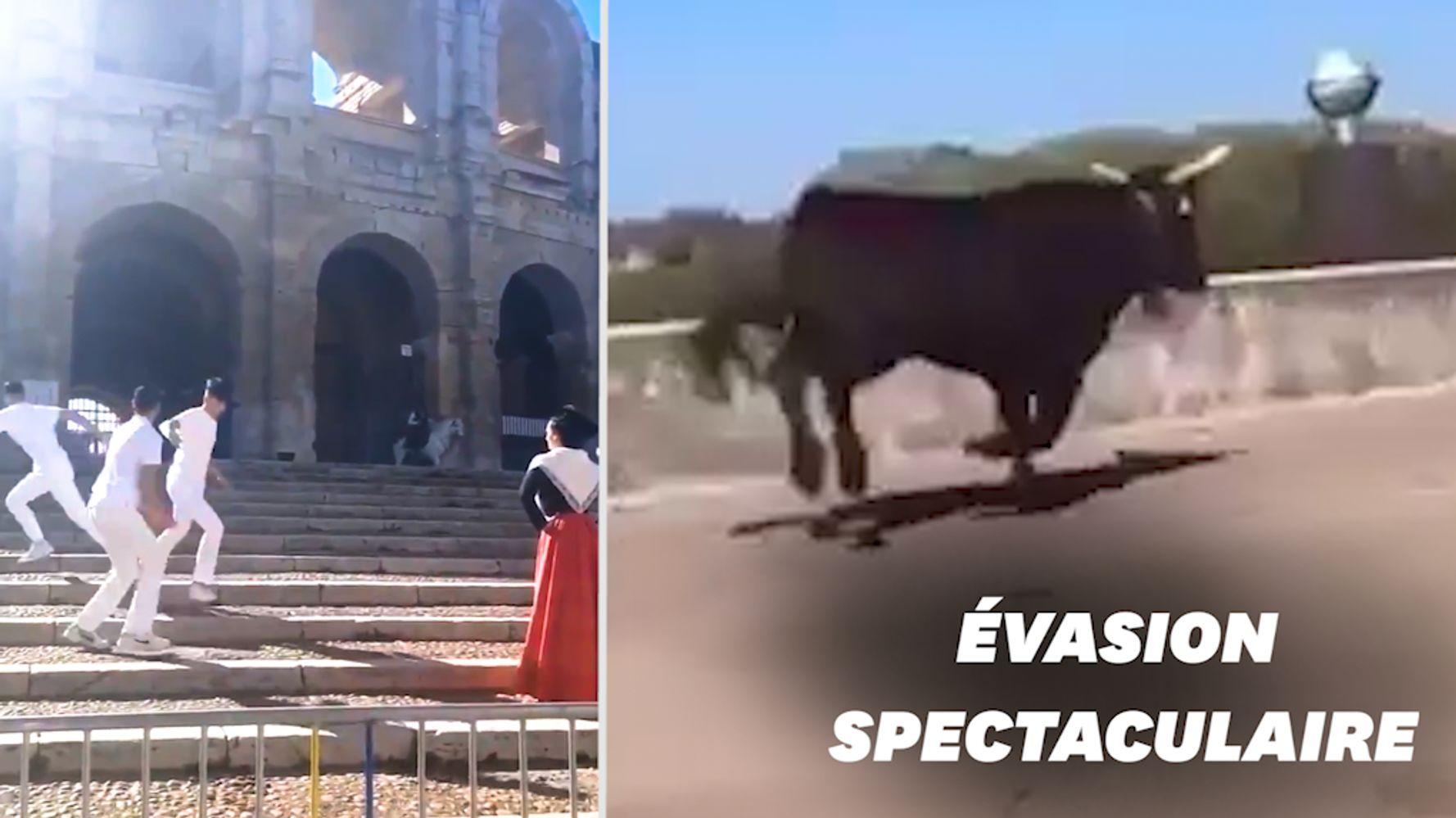 À Arles, trois taureaux s'échappent en pleine séance photo, une femme blessée