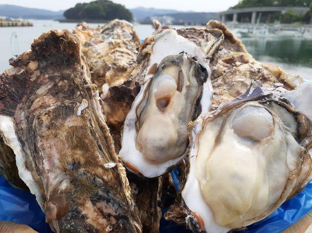 佐々木さんが養殖している牡蠣