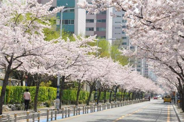 서울에 첫 벚꽃이 이미 폈다. 바로 어제(24일)다. 벚꽃 관측 99년 만에 가장 빠른