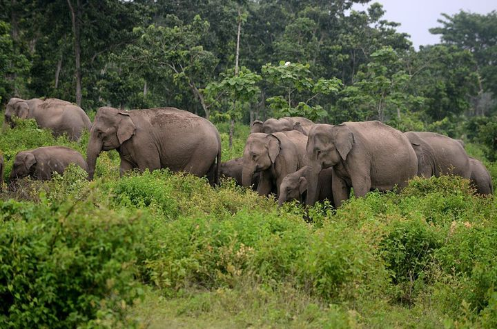Una manada de elefantes salvajes camina en los bosques cerca de la aldea de Kolabari, cerca de la frontera entre India y Nepal, en 2015.