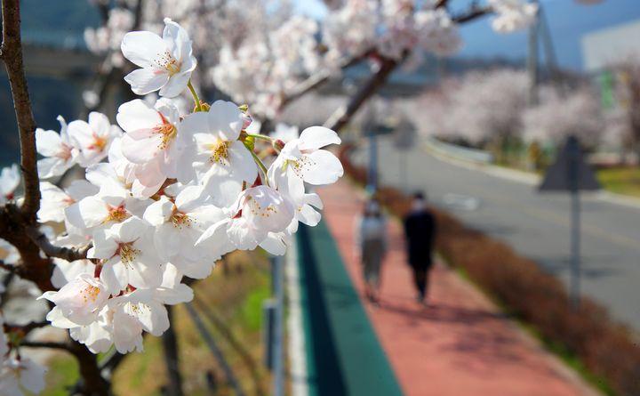 26일 경남 산청군 산청읍 항노화산들길 중 '느림의 길' 구간에 벚꽃이 만개해 있다.