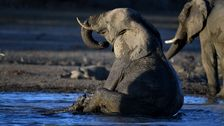 2 African Elephant Species Now Listed As Endangered, Monitoring Group Says