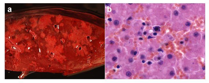 Hepatitis infecciosa canina en oso pardo.