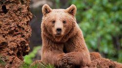 ¿De qué mueren los osos pardos de la cordillera