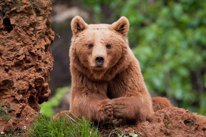 Un oso pardo en el Parque de la Naturaleza de Cabárceno.