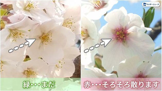 花の中心の色で見分ける