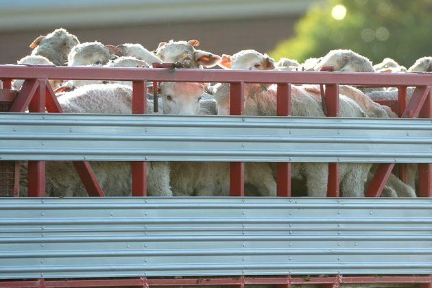 Le blocage du Canal de Suez coince aussi 130.000 moutons vivants (photo d'illustration du 16 juin 2020...