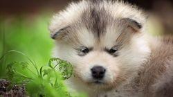 【画像集】アラスカン・マラミュートに癒されたい人集合。大型犬だけど、仔犬は「綿あめ」みたい