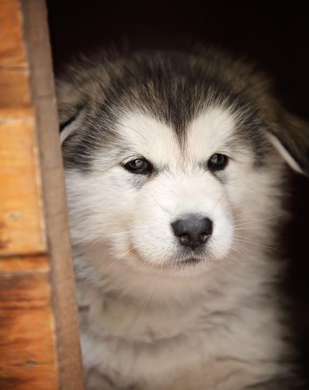 アラスカン・マラミュートの仔犬